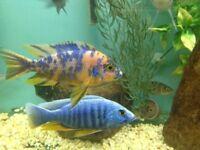 Fish african malawi cichlids 2cm- 1inch