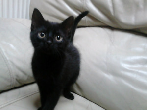 Looking for black male kitten