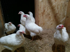 Chantecler cockerels/roosters purebred for sale