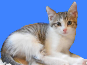 MALE KITTEN TO GIVE AWAY - TABBY GRAY & WHITE