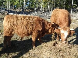 Scottish highland bulls