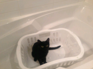 "LOST CAT ""BABY KITTY"" IS MISSING FROM BAYRIDGE AND CEDARWOOD"