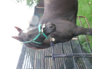 TB Gelding for Part Board.