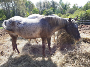 8 year old appy mare