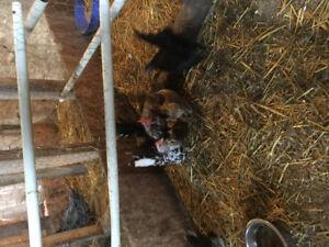 2pairs of Serama chickens