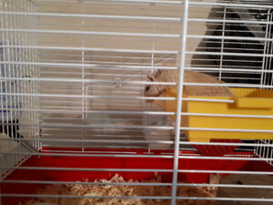 Gerbil for sale w all amentities.