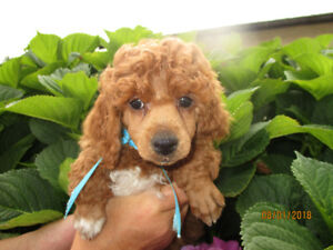 CKC Reg'd, Mini Poodle Babe From Health Tested Parents