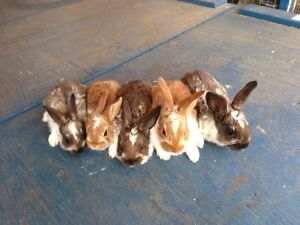Pet and Meat Rabbits