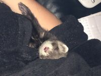 Young 10wk old ferret