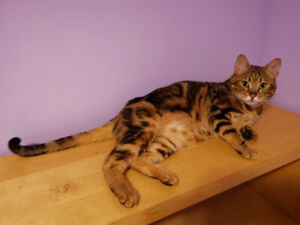 3.5 yrs Old Male Bengal Looking for A Forever Home
