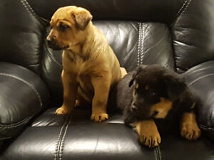Rottweiler GermanShepard Cross puppies