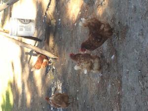 Poule pondeuse brune