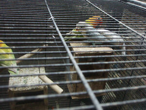 LOVEBIRDS  FISCHERS AND BLACK MASK 10 FOR SALE