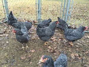 PURE PLYMOUTH BARRED ROCK BROODY HENS