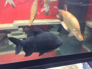 Large pacu and large clown knife