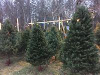 Christmas Tree Shearing \ Trimmer