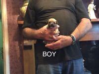 Chalkie puppies deposit secures