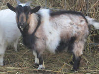 Purebred Fainting and Nigerian buckling goats