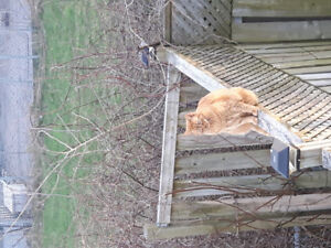 Missing cat big orange tabby male