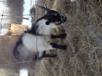 Breeding Male Alpine Goats for Sale