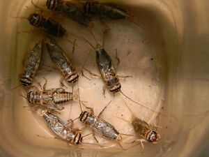 FEEDER CRICKETS-COMING SOON