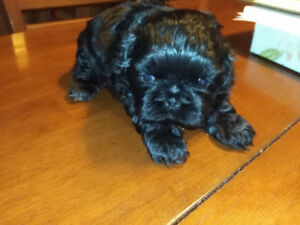Pure small size shih tzu for Christmas!
