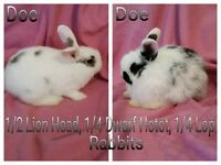 2 LION HEAD MIXED RABBITS/BUNNIES FOR SALE