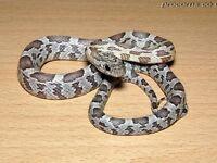 Anery Corn Snake