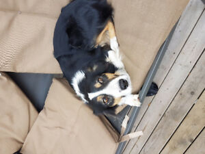 Lost female border collie