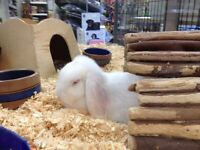 Holland Lop Bunny! ONLY 1 LEFT!!!