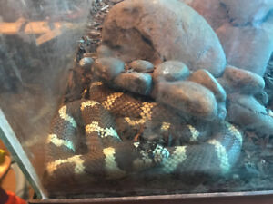 King Snake for rehoming