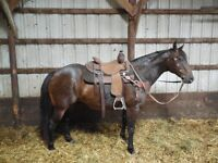 12 YEAR OLD--14.3 HAND BAY ROAN MARE--SUPER TRAIL HORSE