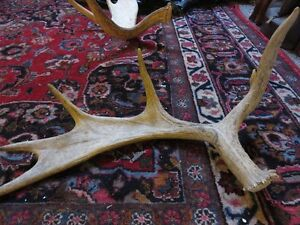NATURAL SHED MOOSE HORN LEGAL TO SELL