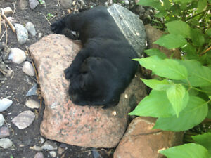NEED A NEW FAMILY MEMBER? BLACK LAB PUPPIES