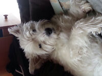 Missing male West Highland Terrier