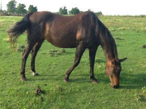 Registered quarter horse for sale