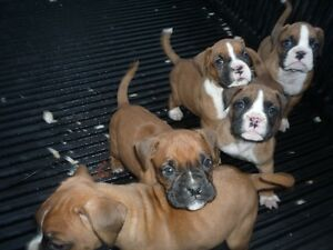 9 Boxer Pups for sale