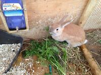 Rabbits free with purchase of hutch