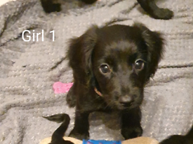 Cutest Sprocker Pups - READY NOW x