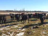 Bred heifers for sale