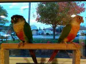 Pair of conure birds