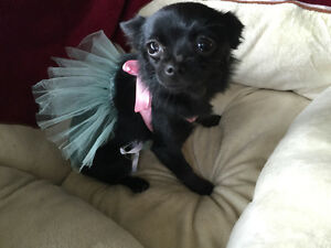 SUPER CUTE Midnight Black ~Pom X Chihuahua X Yorke X Poodle Mix