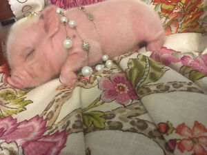 baby pot bellied royal dandie micro / mini piglets for sale