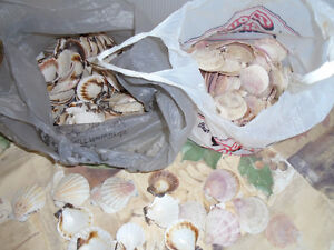 sea shells Comox / Courtenay / Cumberland Comox Valley Area image 3