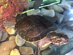 Free turtle with tank purchase Strathcona County Edmonton Area image 2
