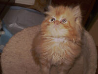 Pure Red Persian Girl For Sale
