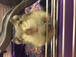 Dwarf Hamster - ALL necessities included