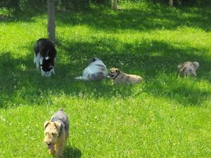 (( WE CAN PICK UP // DROP OFF YOUR DOG !! )) Kawartha Lakes Peterborough Area image 4