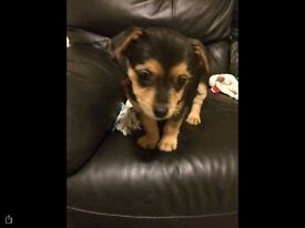 Puppy Rocky jack Russell X ..