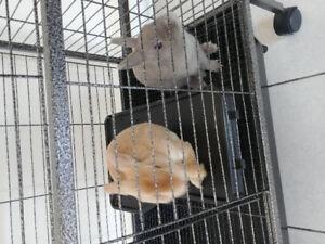 Cage à lapin avec deux lapins Nains x Rex